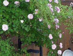 shrub rose   paulasgardenpatch.com   paula bonelli