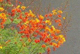 Red Bird-of-Paradise (Caesalpinia pulcherrima)