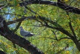 Eurasian Collard Dove in a Sweet Acacia Tree