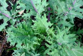 Kale is one of the easiest winter crops to grow and is sweetened with a nip of frost.