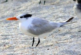 Royal Tern by Ryan Staake