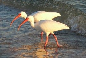 American White Ibis by Ryan Staake, Fort Myers, FL
