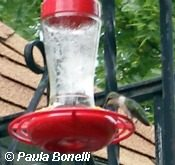 hummingbird perched at feeder | birdsandbloomsblog.com | paula bonelli