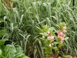 ribbon grass | birdsandbloomsblog.com | paula bonelli
