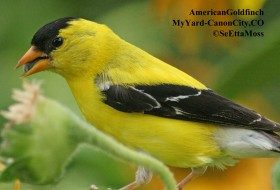 American Goldfinch in my backyard (Canon City,CO)