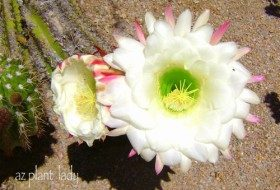 The large white flowers of the Argentine Giant cacti.