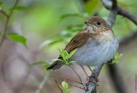 Veery: Just a Little Brown Bird