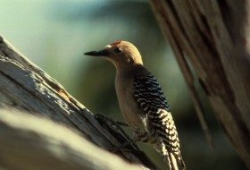 Gila_Woodpecker