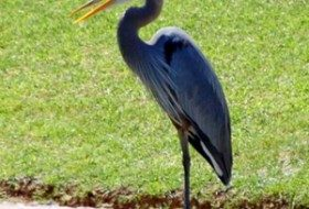 Great_Blue_Heron_3