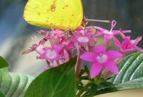 Cloudless Sulphur on Pentas lanceolata