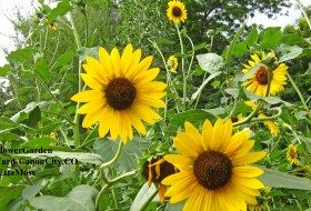 Sunflower garden in my yard