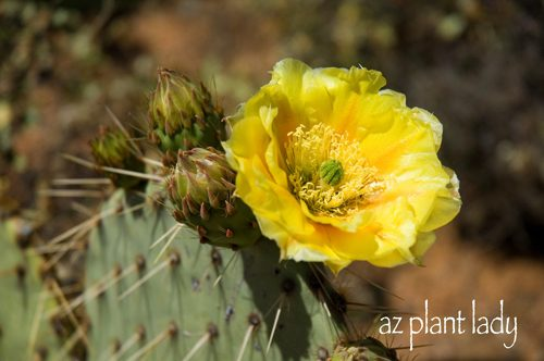 The beautiful flowers of cacti birds and blooms cactus flowers come in many different colors some yellow pink red and white mightylinksfo