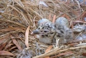 Baby seagulls, unlike adults, are fluffy and cute. Photo by Daren Sefcik, used by permission.