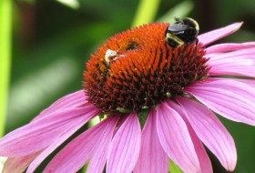 bee with coneflower