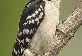 Downy Woodpecker http://www.birdsandblooms.com/Birds/Most-Wanted-Birds/Downy-Woodpecker