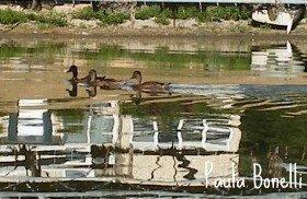 ducks on lake monona | madison , wi | paula bonelli