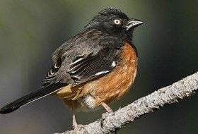 The Eastern towhee is a small fellow with a memorable song. Photo: Roland Jordahl/Birds and Blooms.