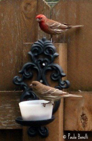 pair of house finches   birdsandbloomsblog.com   paula bonelli   midwest region