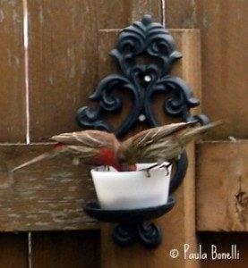 house finches eating grape jelly   paula bonelli   birdsandbloomsblog.com   midwest region