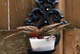 house finches eating grape jelly | paula bonelli | birdsandbloomsblog.com | midwest region