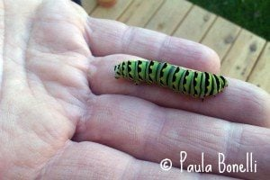 "swallowtail caterpillar ""parsley"" caterpillar   paula bonelli   birdsandbloomsblog.com"