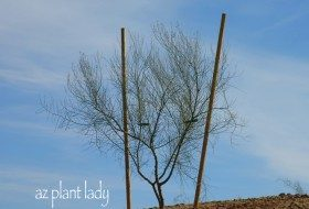 Properly Staked Palo Verde Tree