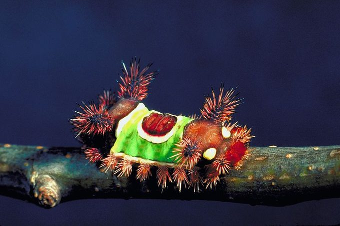 Saddleback Caterpillar by The Bugwood Network via Wikipedia