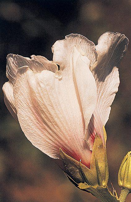 Hidden Hibiscus