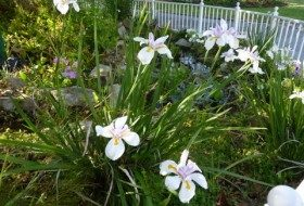 African Iris blooms prolifically in the spring, and then again throughout the year.
