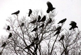 When crows gather in groups, there is a purpose beyond just socializing. Photo by Bob Ellis.