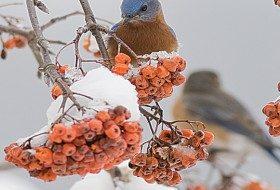 Eastern Bluebird in Mountain Ash