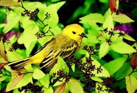 Yellow Warbler in Spirea