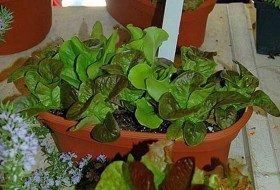 Grow an Indoor Salad Garden