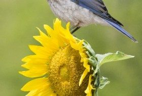 Eastern Bluebird on Sunflower