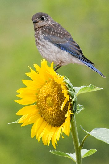 Eastern Bluebird on Sunflower