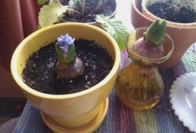 hyacinth_blossom_web_image