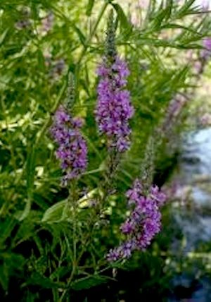 the problem with purple loosestrife Why is purple loosestrife a problem purple loosestrife (lythrum salicaria) is an invasive non-native plant from europe and asia that was introduced into north.