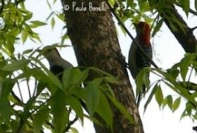red-bellied woodpecker | paula bonelli | birdsandbloomsblog.com