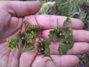 Eastern Black Swallowtail Caterpillars