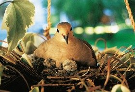 Mourning Dove and Chicks