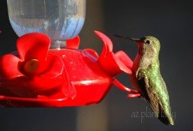 Anna's Hummingbird at my kitchen window.