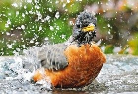 A robin bathing by Donna Tolbert-Anderson.