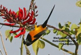 Rio Grande Valley Birding Festival-Nov 9-13 in South Texas