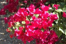 Bright, Colorful Bougainvillea