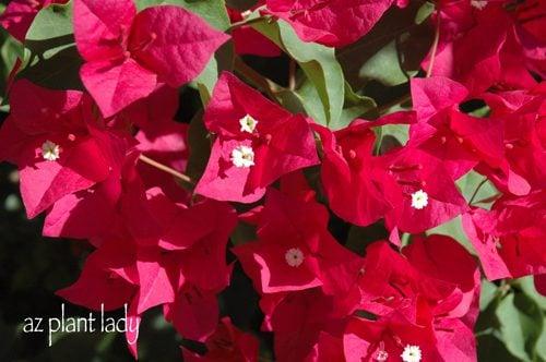 Bougainvillea brillante, colorido - pájaros y floraciones