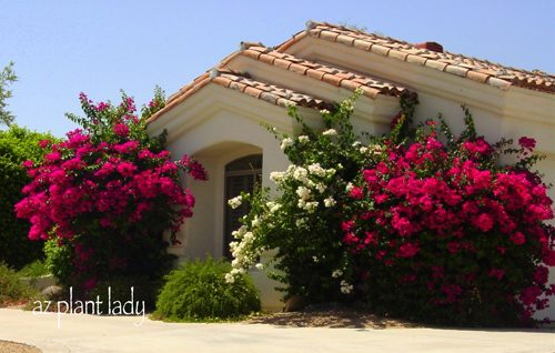 Bright Colorful Bougainvillea Birds And Blooms