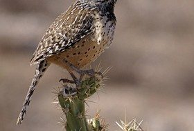 The Cactus Wren – Arizona's State Bird