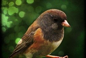 Juncos, my deck companions for the Fall