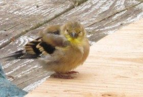 New finch on the block.
