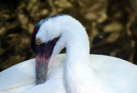 Migration Monitor: Whooping Cranes Take Flight
